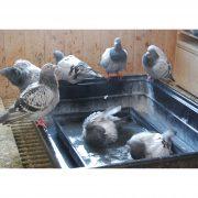 Badende Tauben